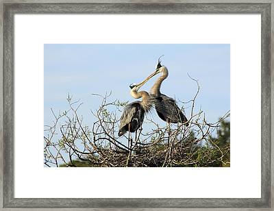 Great-blue Herons On Nest At The Venice Rookery, Florida Framed Print