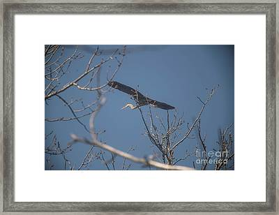 Framed Print featuring the photograph Great Blue In Flight by David Bearden