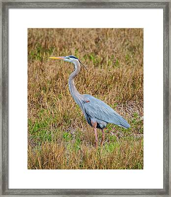 Great Blue Framed Print by John M Bailey