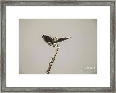 Framed Print featuring the photograph Great Blue Landing by David Bearden