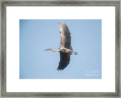Framed Print featuring the photograph Great Blue On Final by David Bearden