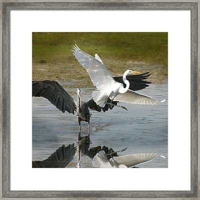Great Blue Vs. Great White Egret Framed Print