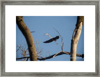 Framed Print featuring the photograph Great Blues Nesting by David Bearden