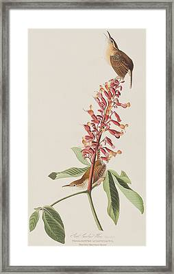 Great Carolina Wren Framed Print by John James Audubon