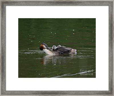 Great Crested Grebe Feeding Framed Print by Nigel Bangert