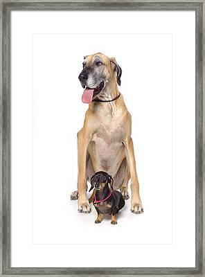 Great Dane And Dachshund Portrait Framed Print by Corey Hochachka