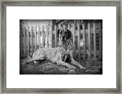 Framed Print featuring the photograph Great Dane Rufus by Lila Fisher-Wenzel
