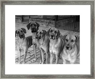 Great Danes Framed Print by Fox Photos