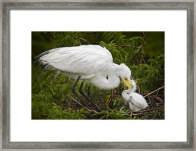 Great Egret And Chick Framed Print by Susan Candelario