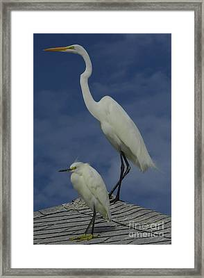 Great Egret And Snowy Egret Framed Print by D Hackett
