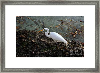 Great Egret At A Low Tide Framed Print