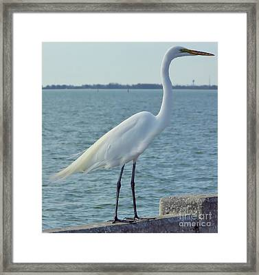 Great Egret At The Gulf Framed Print by D Hackett