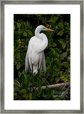 Framed Print featuring the photograph Great Egret by Chris Scroggins