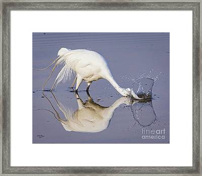 Great Egret Dipping For Food Framed Print