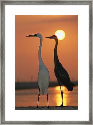 Great Egret, Egretta Alba, In Front Framed Print by Roy Toft
