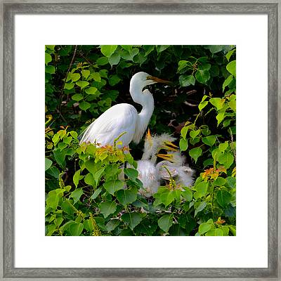 Great Egret Family Framed Print by Lindy Pollard