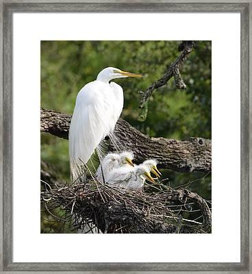Great Egret Family  Framed Print