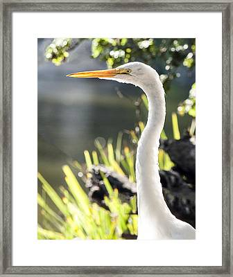 Great Egret Headshot Profile  Framed Print