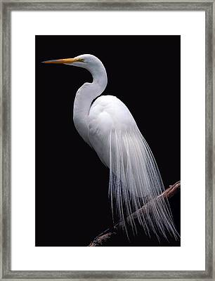 Great Egret II Framed Print