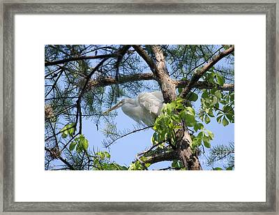 Great Egret In Breeding Plumage Framed Print