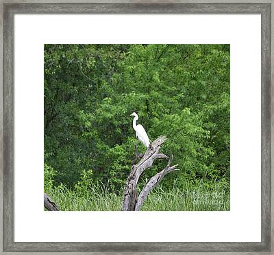 Great Egret In Dead Tree Framed Print by Ruth Housley