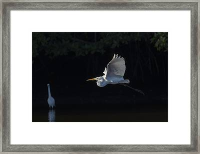 Great Egret In Morning Flight Framed Print