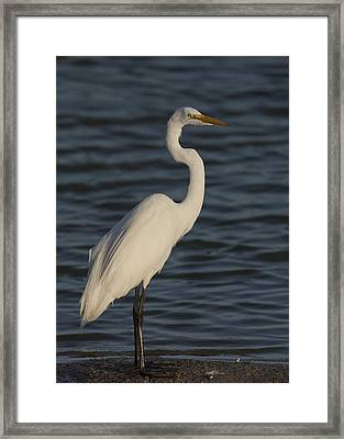 Great Egret In The Last Light Of The Day Framed Print