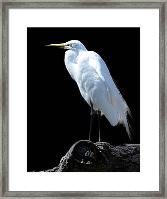 Great Egret Framed Print by Keith Lovejoy