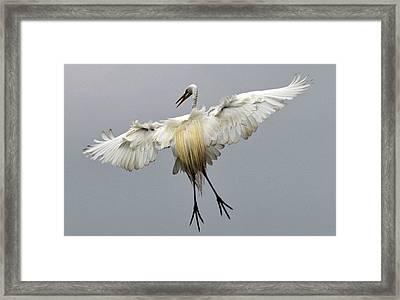 Great Egret Landing Framed Print by Lindy Pollard