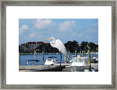 Great Egret Framed Print by Margaret Palmer