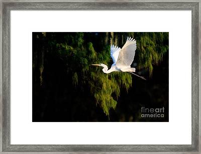 Great Egret Framed Print by Matt Suess