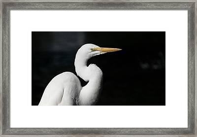 Great Egret Portrait Framed Print