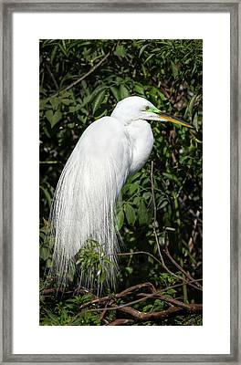 Framed Print featuring the photograph Great Egret Portrait One by Steven Sparks