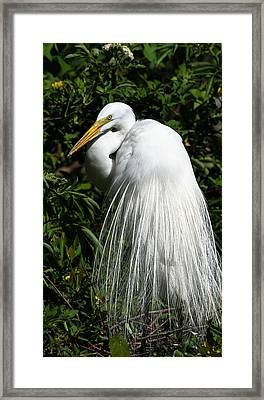 Framed Print featuring the photograph Great Egret Portrait Two by Steven Sparks