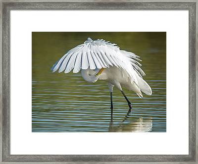 Great Egret Preening 8821-102317-2 Framed Print