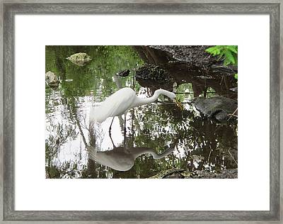 Great Egret Ready To Strike Framed Print