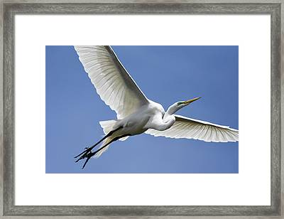 Framed Print featuring the photograph Great Egret Soaring by Gary Wightman