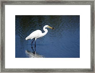 Great Egret Framed Print by Tina B Hamilton