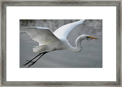 Great Egret With Fish Framed Print