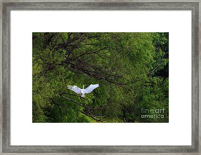 Great Egrets In The Shore Framed Print