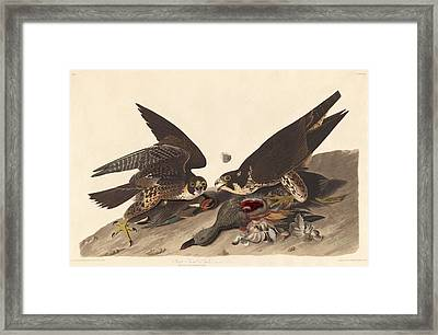 Great Footed Hawk Framed Print