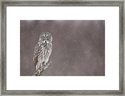 Great Gray Owl In Falling Snow Framed Print by Tim Grams