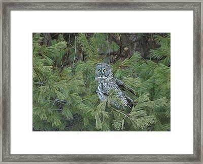 Great Gray Owl In Pine Tree Framed Print by John Burk