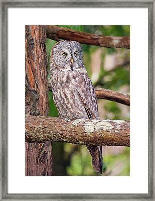 Great Gray Owl On Alert Framed Print by Loree Johnson