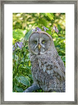Great Gray Owl Framed Print by Patricia Hofmeester