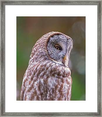 Great Gray Owl Portrait Framed Print by Loree Johnson