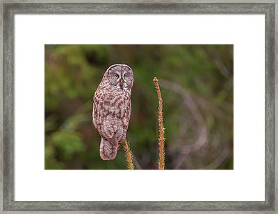 Great Gray Owl Pose Framed Print