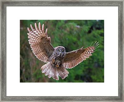 Great Gray Owl Swoop Framed Print