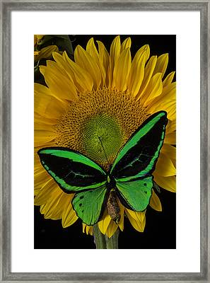 Great Green Butterfly Framed Print by Garry Gay