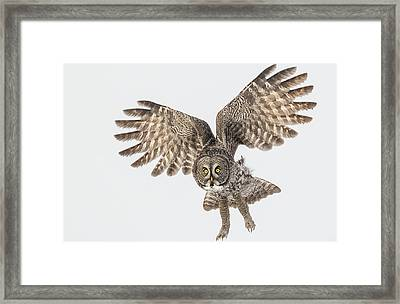 Great Grey Flight  Framed Print